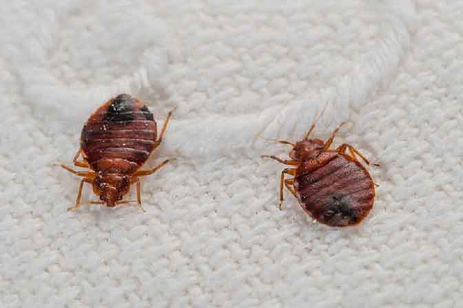 Bed Bug Control Services In Saroornagar