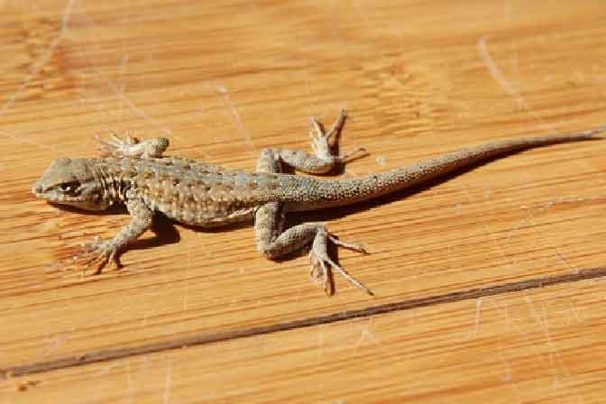 Lizards Control Services