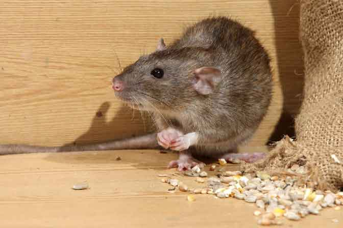Rat Control Services In Balanagar